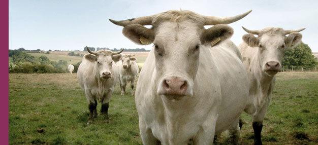 Bovines (ou la vraie vie des vaches)